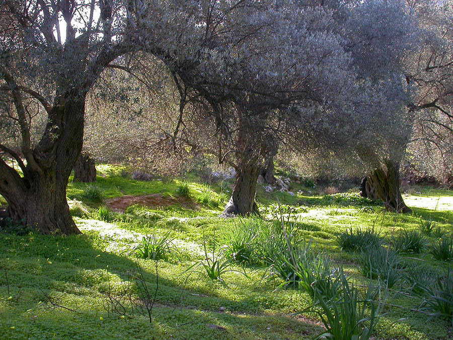 olive trees in the garden of our eco friendly hotel Mourtzanakis ecotourism resort - Crete